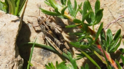 Sunbathing grasshopper.