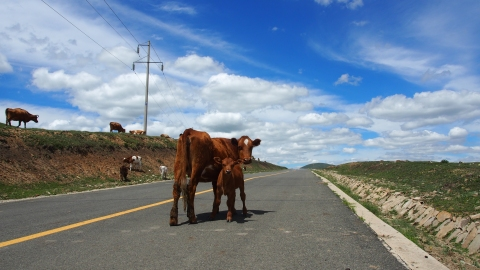 A cow and her calf blocking the road.