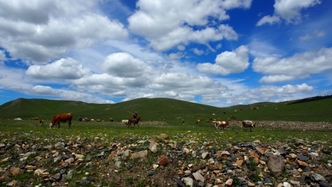 A mongol sheperd leads his cow herd.