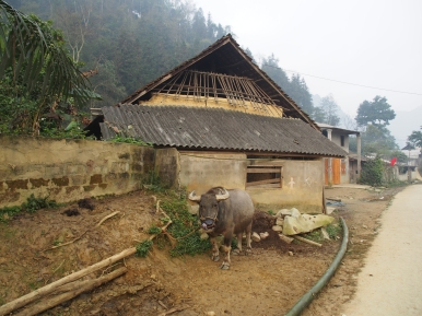 Water buffalos are the main investment for families in Northern Vietnam's mountainous areas. If need be the animal is sold so that upcoming expenses can be covered more easily (i.e. for marriages, funerals...)